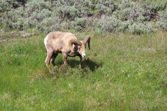 Bighorn in Yellowstone Stock Image