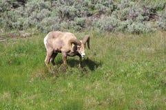 Bighorn in Yellowstone Stock Image