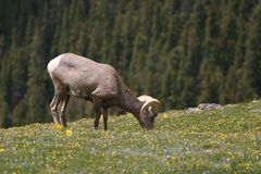 Bighorn1 Royalty Free Stock Photo