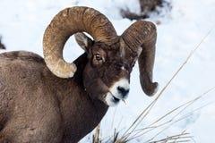Bighornfår Fotografering för Bildbyråer