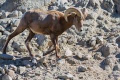 Bighornfår - Oviscanadensisnelsoni Arkivfoton