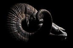 Bighornfår Ram Argali Portrait Profile Fotografering för Bildbyråer