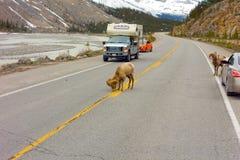 Bighornfår som stoppar trafik i deras sökande för salt Royaltyfri Fotografi