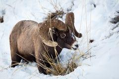 Bighornram stock foto
