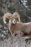 BighornRAM i brunst - Colorado Rocky Mountain Bighorn Sheep Arkivbilder
