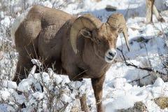 BighornRAM i snön - Colorado Rocky Mountain Bighorn Sheep Royaltyfria Foton