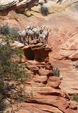 BIGHORNS ON THE EDGE stock images
