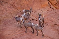 Bighorns. A herd of desert bighorn sheeps on the mountainside Stock Images