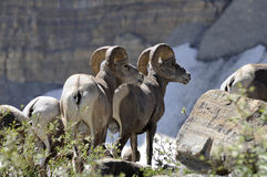 Bighorns in the USA Royalty Free Stock Photos