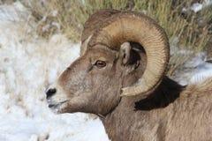 Bighornschaf-RAM im großartigen Nationalpark-Winter Teton Lizenzfreie Stockfotografie