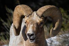 Bighornschaf-RAM-Porträtlächeln Lizenzfreie Stockfotografie