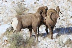 Bighornschaf-RAMs im großartigen Nationalpark-Winter Teton Lizenzfreie Stockbilder