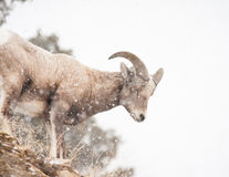 Bighornschafe Stockfotos