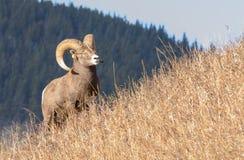 Bighornschafe auf Abhang Lizenzfreie Stockfotos