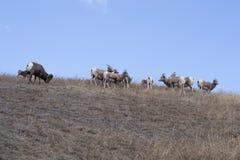 Bighornschafe auf Abhang Lizenzfreie Stockfotografie