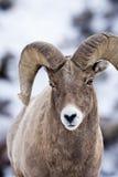 Bighornschafe im Schnee Lizenzfreie Stockfotografie