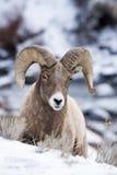 Bighornschafe im Schnee Lizenzfreies Stockfoto