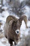 Bighornschafe im Schnee Lizenzfreie Stockbilder