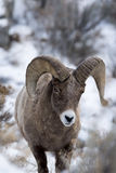 Bighornschafe im Schnee Stockfoto