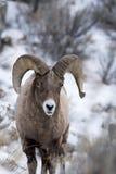 Bighornschafe im Schnee Lizenzfreie Stockfotos