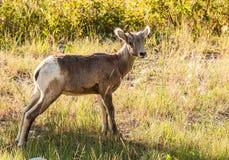 Bighornschaflamm Stockfoto