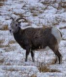 Bighornschafmutterschaf auf schneebedeckter Weide Stockbild