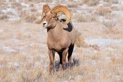 Bighornschapen Royalty-vrije Stock Afbeeldingen