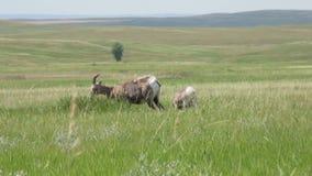 Bighornschapen het Weiden stock videobeelden