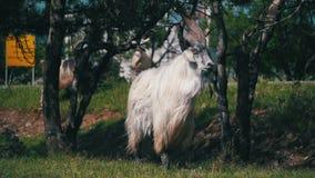 Bighornschapen Hoofdalpha male ram in Kudde van Schapen die op Gebied dichtbij Weg weiden Langzame Motie stock footage