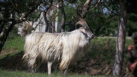 Bighornschapen Hoofdalpha male ram in Kudde van Schapen die op Gebied weiden Langzame Motie stock video