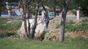 Bighornschapen Hoofdalpha male ram in Kudde van Schapen die op Gebied weiden Langzame Motie stock videobeelden