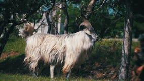Bighornschapen Hoofdalpha male ram in Kudde van Schapen die op Gebied weiden Langzame Motie stock footage