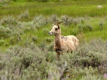 Bighornschapen - ooi - in natuurlijk milieu stock afbeeldingen