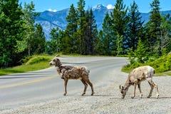 Bighornschapen & x28; Ovis canadensis& x29; Royalty-vrije Stock Afbeelding
