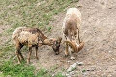 Bighornschapen & x28; Ovis canadensis& x29; Stock Fotografie