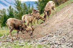 Bighornschapen & x28; Ovis canadensis& x29; Royalty-vrije Stock Foto's
