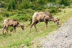 Bighornschapen & x28; Ovis canadensis& x29; Royalty-vrije Stock Fotografie