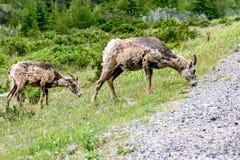 Bighornschapen & x28; Ovis canadensis& x29; Stock Afbeelding
