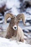 Bighornschapen in Sneeuw Stock Fotografie