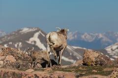 Bighorntacka och lamm Royaltyfria Foton