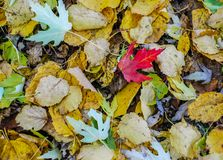 Bight Red Maple Leaf Among other leaves Colors on an Autumn Day stock photography