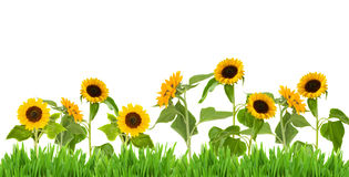 Bight sunflower border Stock Images