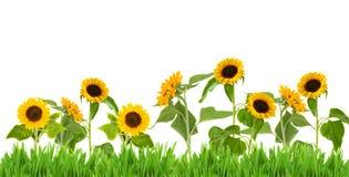 Bight sunflower border Stock Images
