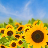 Bight sunflowers field Stock Photography