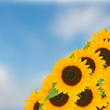 Bight sunflowers ob blue sky Royalty Free Stock Photos