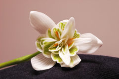 Bigi big snowdrop Royalty Free Stock Photos