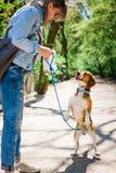 Bigle come il cane sul guinzaglio che salta per ottenere ricompensa - mostrare lingua immagine stock libera da diritti