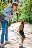 Bigle zoals hond op leiband die beloning springt te krijgen - zoete lekkernij stock fotografie