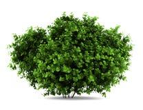 Bigleaf hydrangea bush isolated on white Royalty Free Stock Photos
