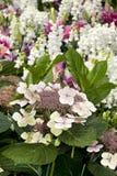 Bigleaf Hydrangea Hydranea macrophylla Stock Photos